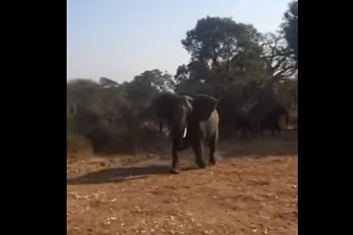 Elephant charge Zimbabwe 2015-02-03