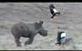 The world is a better place because we have bird-chasing baby rhinos