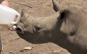 VIDEO: Tiny poaching victims find home & family at South Africa's rhino orphanages