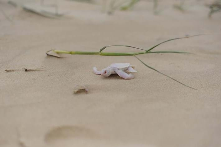 Baby Albino Turtle1 2016 02 08