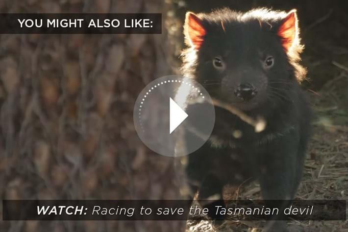 Tasmanian Devil Related 2016 02 09