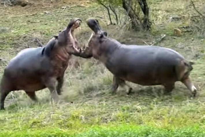 Hippo -fight _2016_02_10