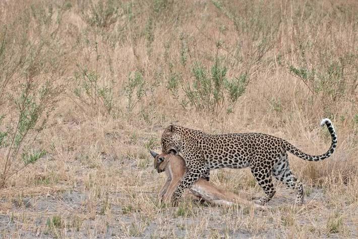 Caracal Leopard 5 2016 02 16