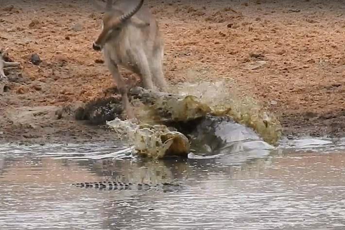 Croc attacks waterbuck 2016-02-17