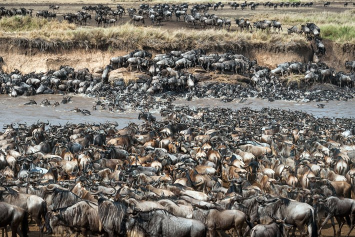 zebra wildebeest small _2016_02_19