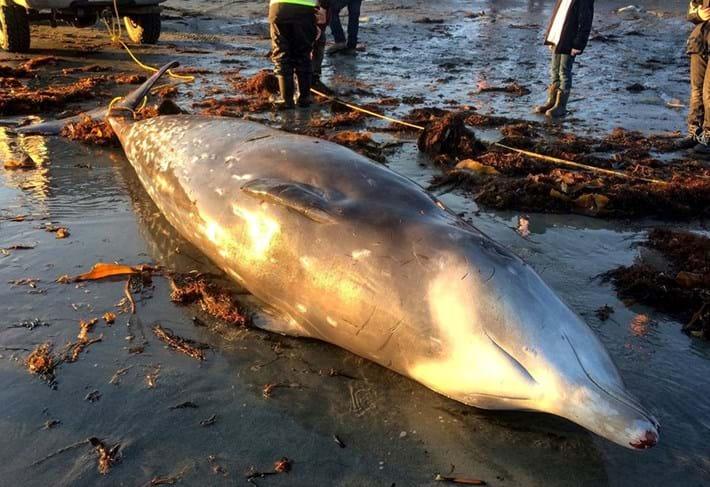 Whale Stranding 2016 02 23
