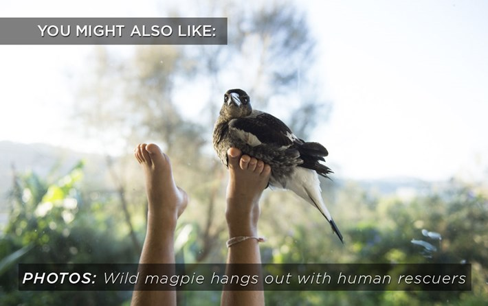 Rescued Magpie Related Content 2016 02 24