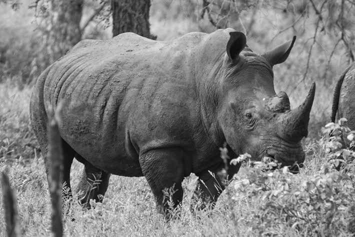 The rhino-poaching crisis