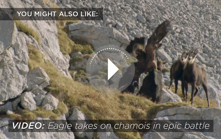 golden eagle-related-2016-2-29