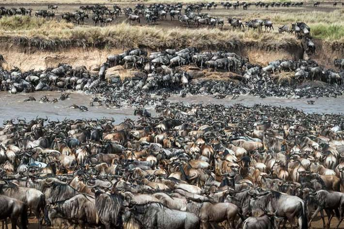 Zebra Wildebeest S 2016 02 19