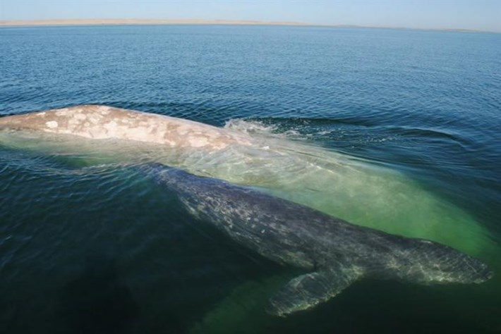 After six-year absence, albino whale 'Gallon of Milk' returns – with baby in tow!