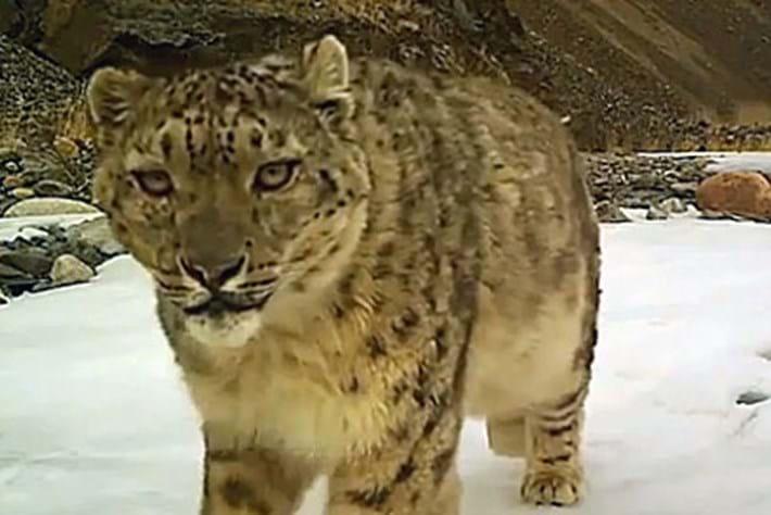 Snow -leopard -camera -trap _2016_03_06