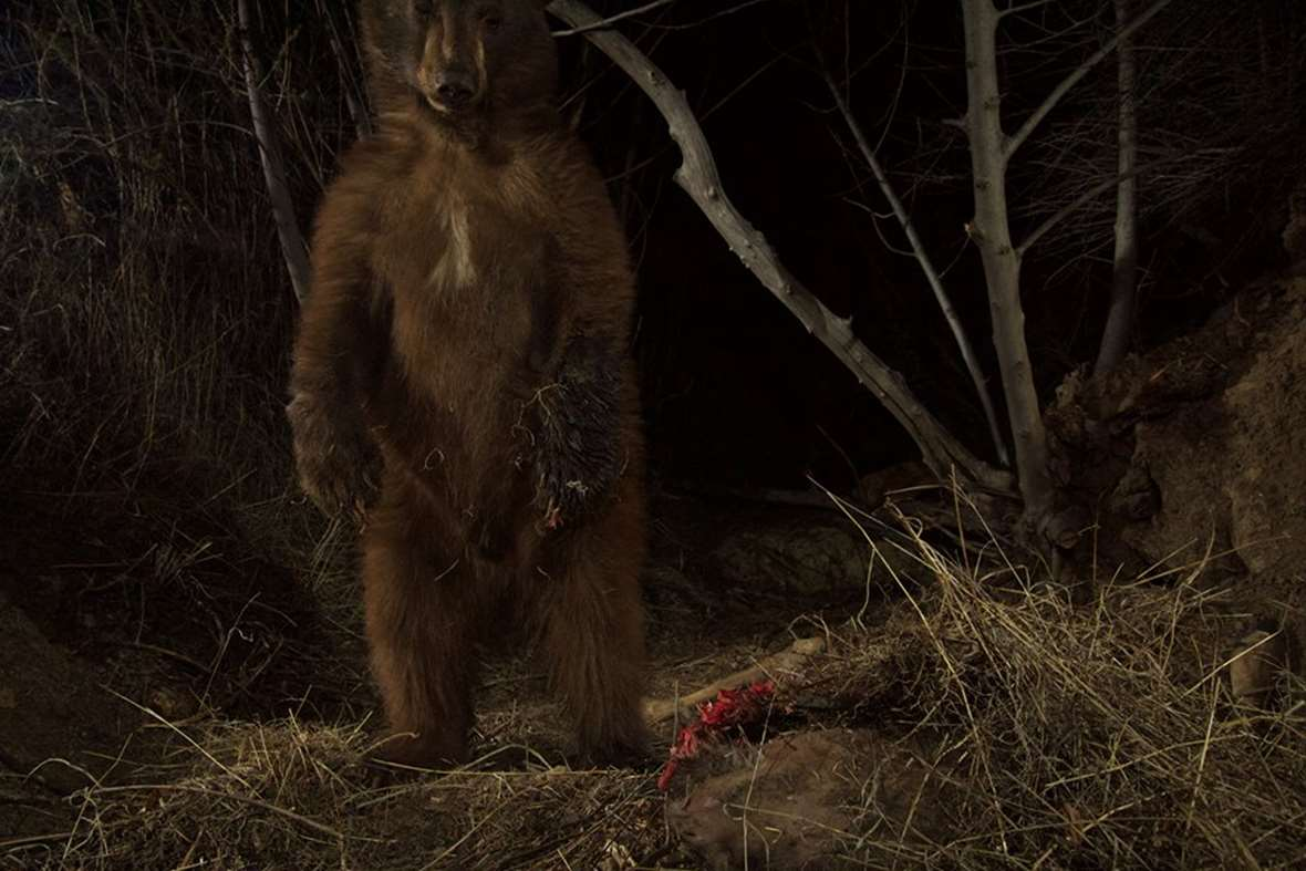 Jaguar Santa Monica >> Mountain lion's deer dinner brings hungry bears to the table   live-cams   Earth Touch News