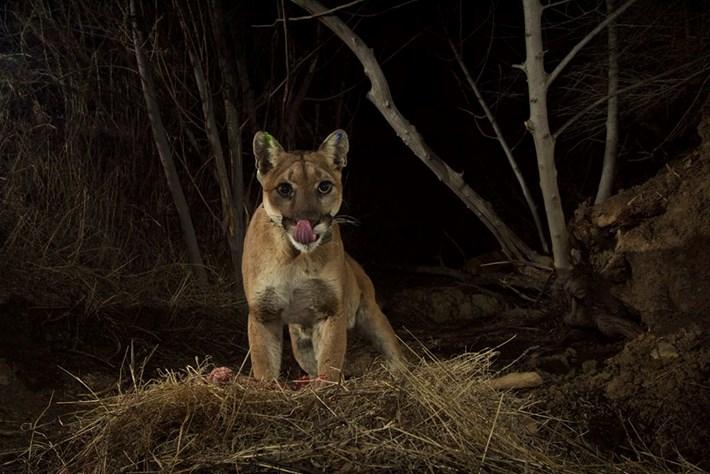 cameratrap-lion2-2016-3-6
