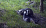 Every now and again, a badger's belly needs a good scratch