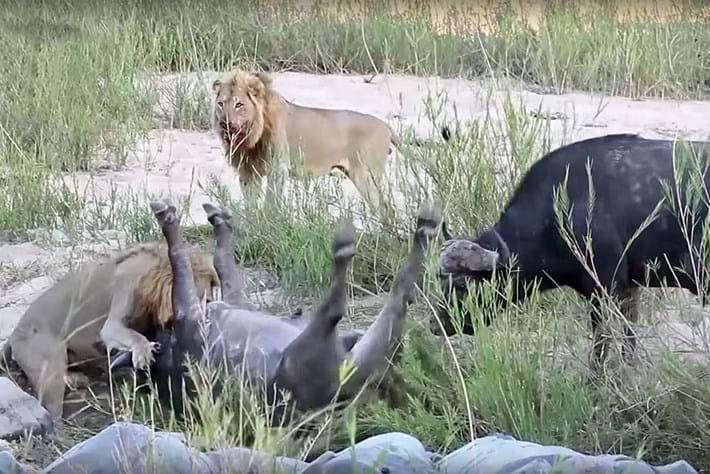 Buffalo takes on lions 2016-03-15