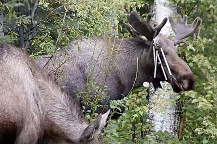 Moose -chimes _2016_03_16