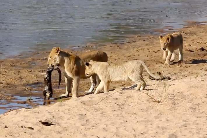 lionVsotter-page-2016-3-16