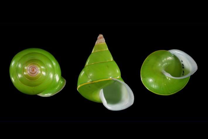 Emerald Green Snail 2016 03 17