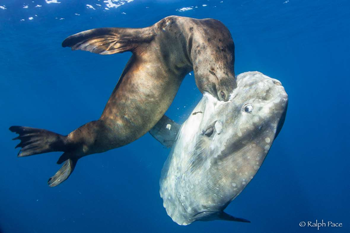 In photos sea lion burrows chest deep in a mola mola meal for What do fish eat in the ocean
