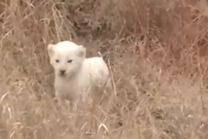 Rare white lion cub shows off his 'roar' in South Africa