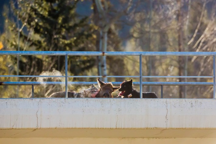 Wolves-8-2016-3-23