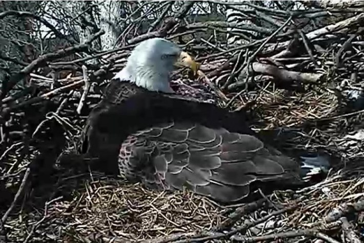 Washington's eaglets have landed – and now the live cams are all about baby duty