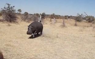Hippo headbutts a safari vehicle