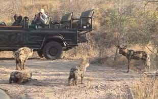 Wild dog makes friends with young hyenas