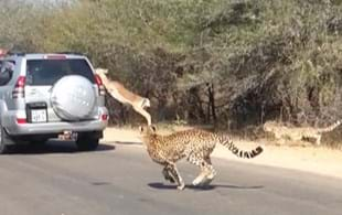 'Cheeting' death: Impala leaps to safety ... into a car