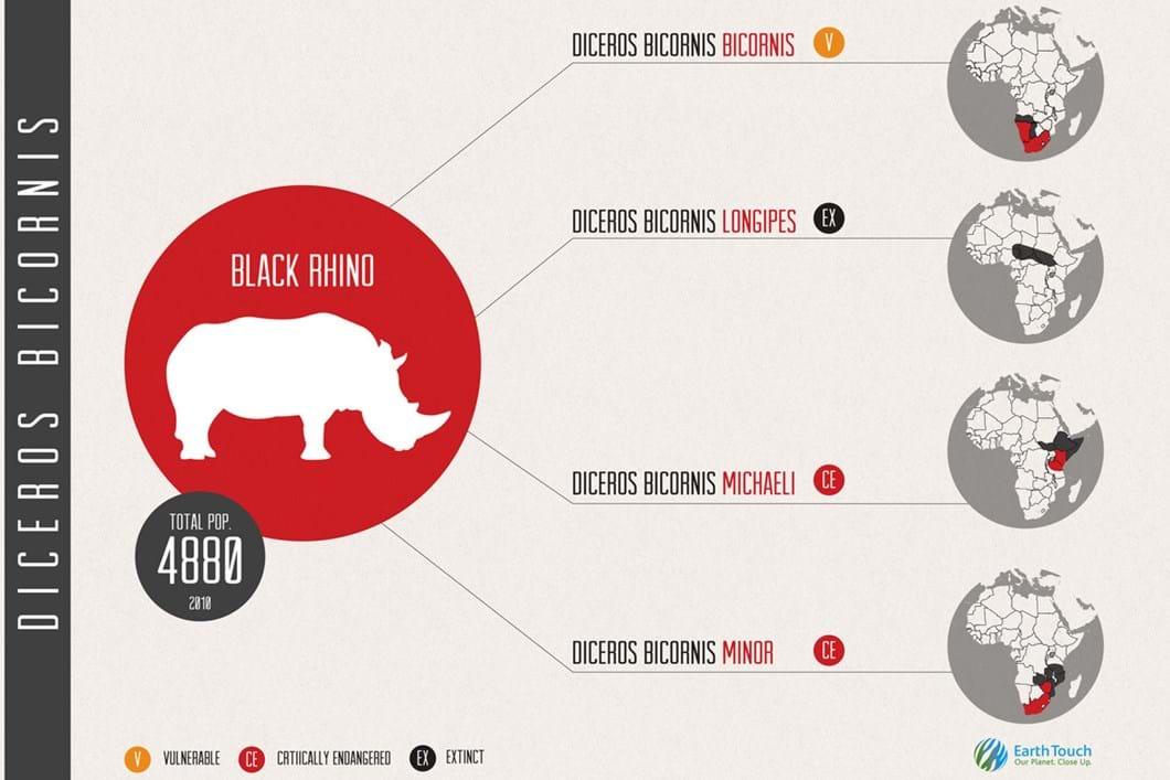 Black rhino subspecies infographic