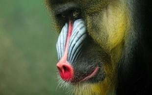 Meet the endangered species that inspired Catching Fire's terrifying monkeys