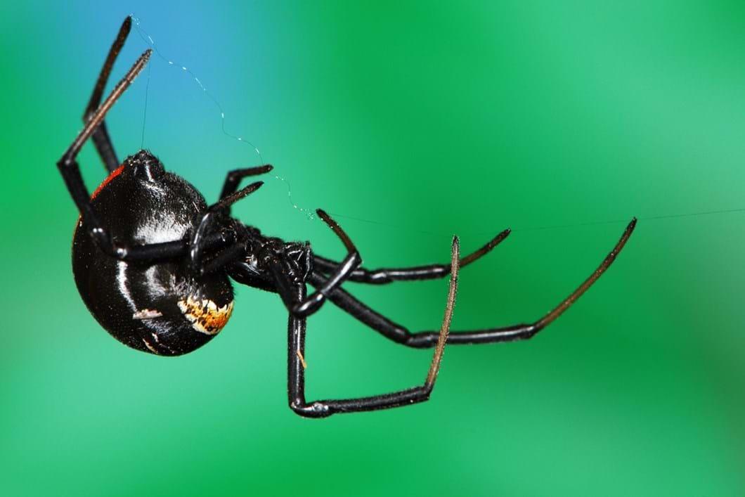 Black widow spider 01