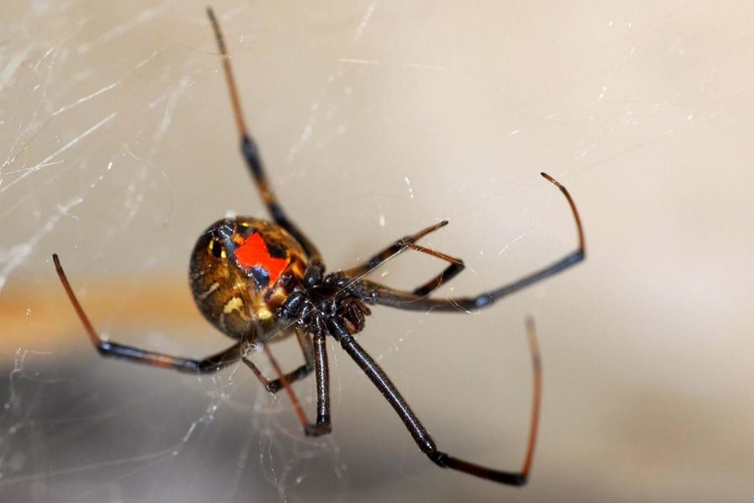 Brown widow spider 01