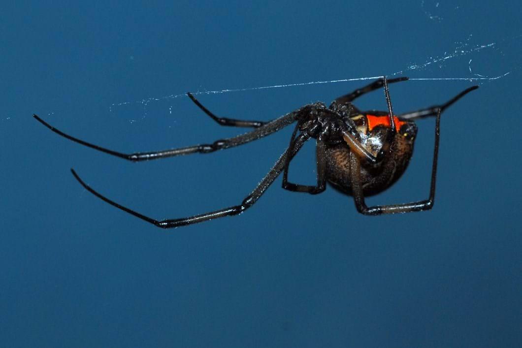 Brown widow spider 03