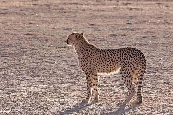 2013 12 05 The Hunger Games Cheetah Jackal Brown Hyena 05