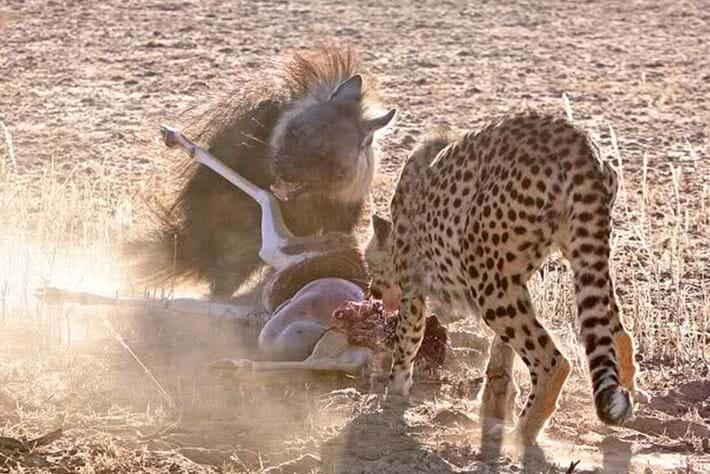 2013 12 05 The Hunger Games Cheetah Jackal Brown Hyena 09
