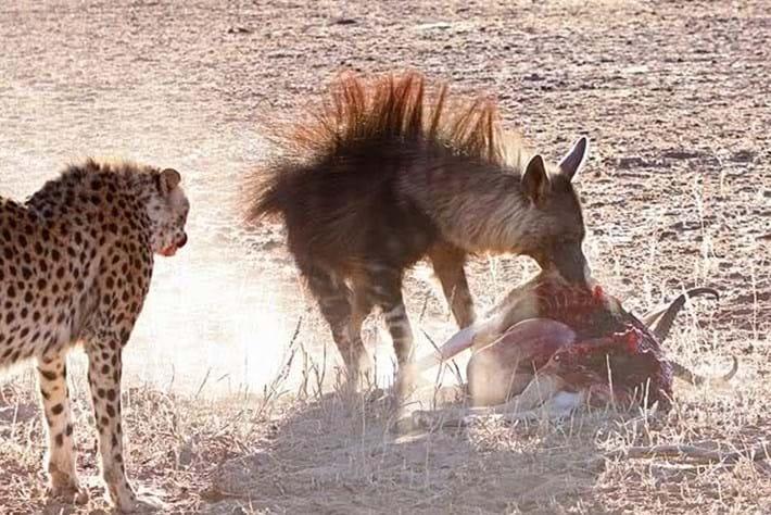 2013 12 05 The Hunger Games Cheetah Jackal Brown Hyena 11