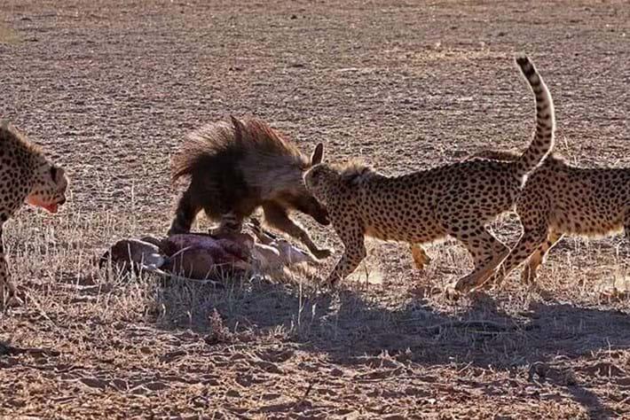 2013 12 05 The Hunger Games Cheetah Jackal Brown Hyena 13