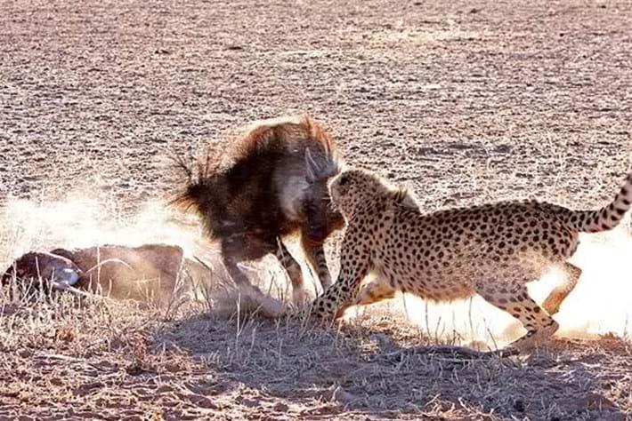 2013 12 05 The Hunger Games Cheetah Jackal Brown Hyena 14