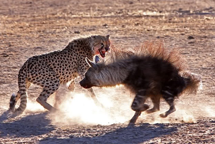 The Hunger Games: Cheetahs, jackals and a brown hyena battle for a meal