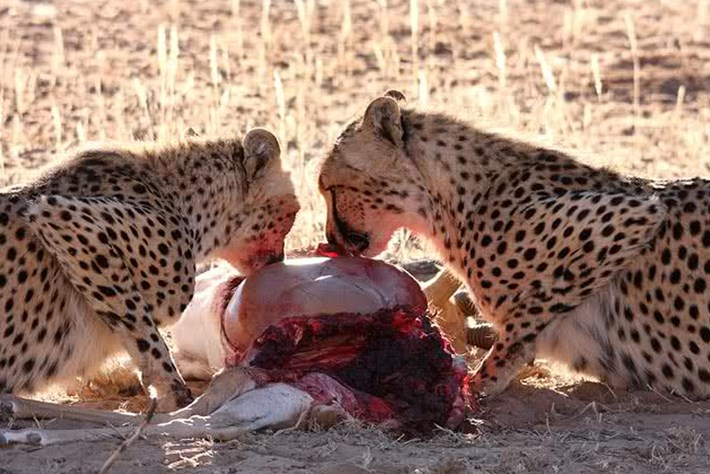 2013 12 05 The Hunger Games Cheetah Jackal Brown Hyena 01