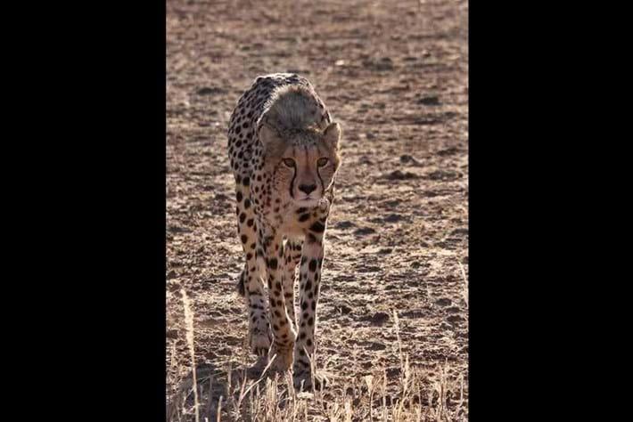 2013 12 05 The Hunger Games Cheetah Jackal Brown Hyena 02