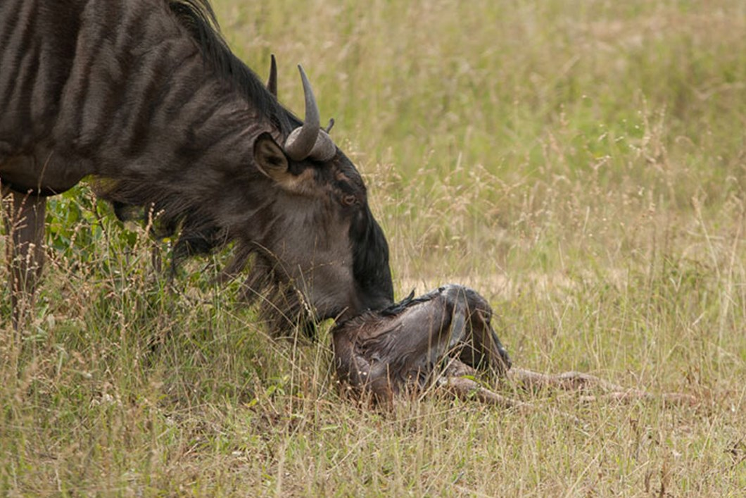 Newborn Antelope