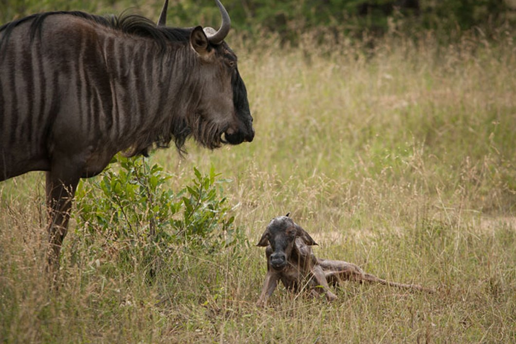 Mother watches over calf