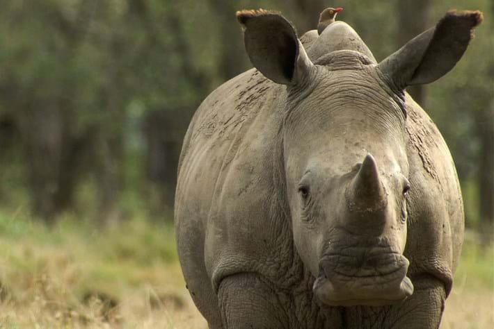 2013 12 19 Rhino Portrait