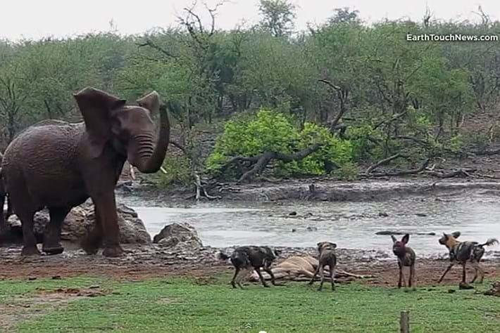2013 12 20 Wild Dogs Take Down Kudu
