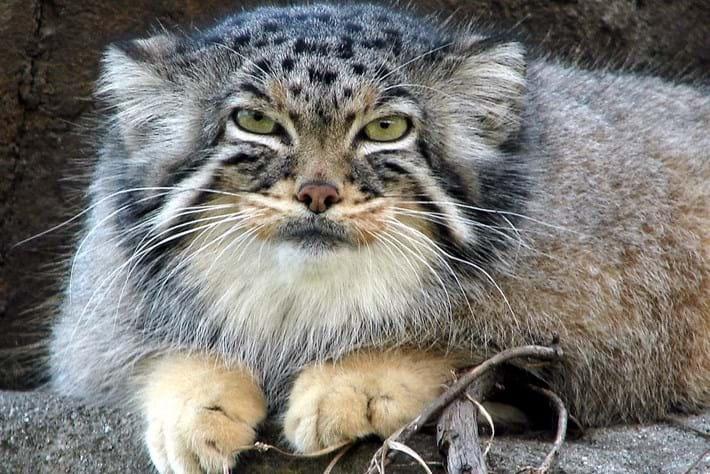 06 02 2014 Manul Pallass Cat 6
