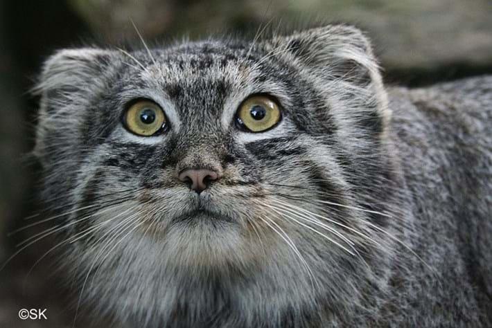 06 02 2014 Manul Pallass Cat 4