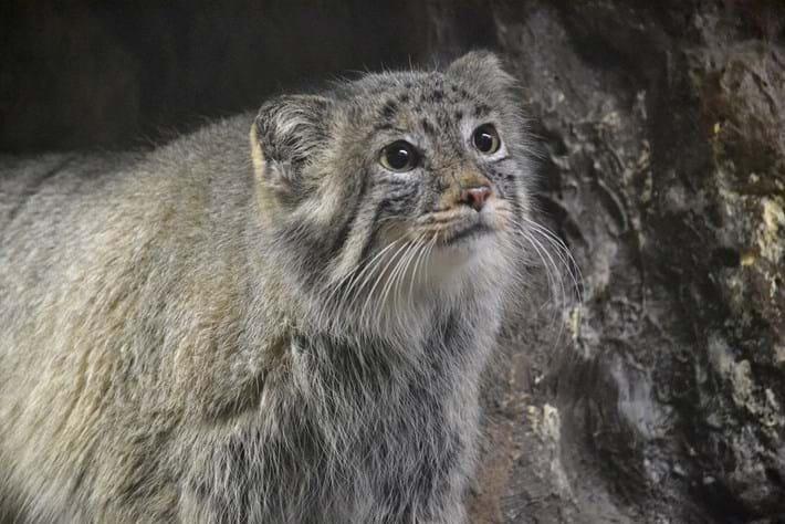 06 02 2014 Manul Pallass Cat 1